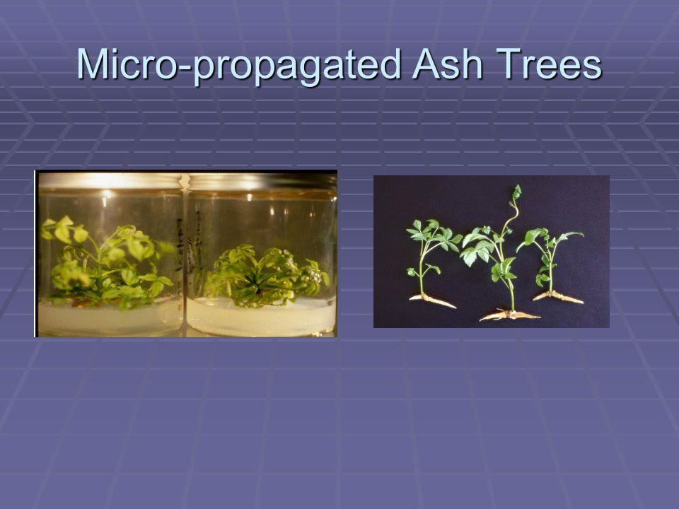 Micro-propagated Ash Trees