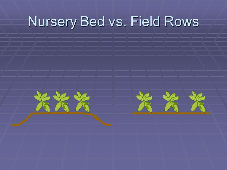Nursery Bed vs. Field Rows