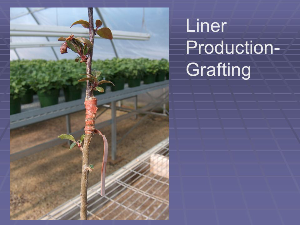 Liner Types Based on Propagation Method  C = cutting  U = un-rooted cutting  G = grafted  L = layered  S = seedling  M = micro-propagated or tissue culture  D = division
