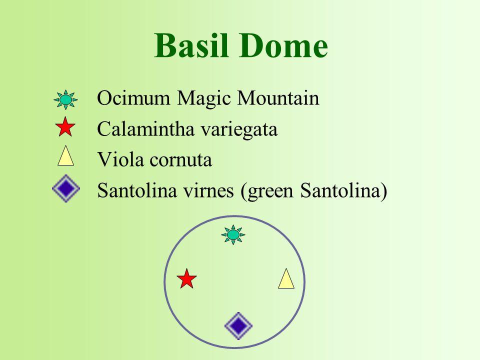 Ocimum Magic Mountain Calamintha variegata Viola cornuta Santolina virnes (green Santolina)