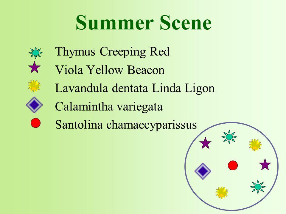 Thymus Creeping Red Viola Yellow Beacon Lavandula dentata Linda Ligon Calamintha variegata Santolina chamaecyparissus