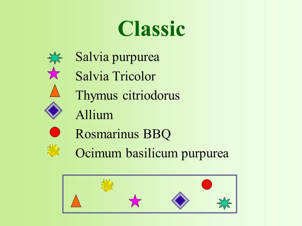 Salvia purpurea Salvia Tricolor Thymus citriodorus Allium Rosmarinus BBQ Ocimum basilicum purpurea