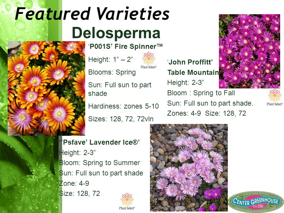 Featured Varieties Delosperma 'P001S' Fire Spinner™ Height: 1 – 2 Blooms: Spring Sun: Full sun to part shade Hardiness: zones 5-10 Sizes: 128, 72, 72vln 'John Proffitt' Table Mountain® Height: 2-3 Bloom : Spring to Fall Sun: Full sun to part shade.