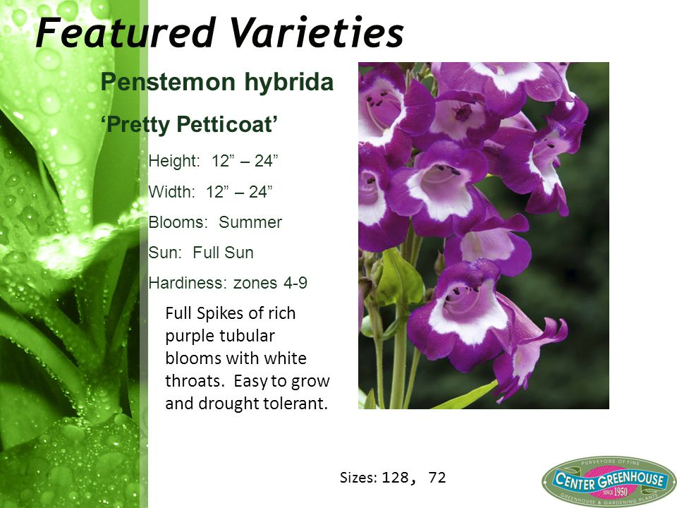 Featured Varieties Penstemon hybrida 'Pretty Petticoat' Height: 12 – 24 Width: 12 – 24 Blooms: Summer Sun: Full Sun Hardiness: zones 4-9 Full Spikes of rich purple tubular blooms with white throats.