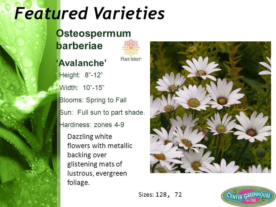 """Featured Varieties Osteospermum barberiae 'Avalanche' Height: 8""""-12"""" Width: 10""""-15"""" Blooms: Spring to Fall Sun: Full sun to part shade. Hardiness: zon"""