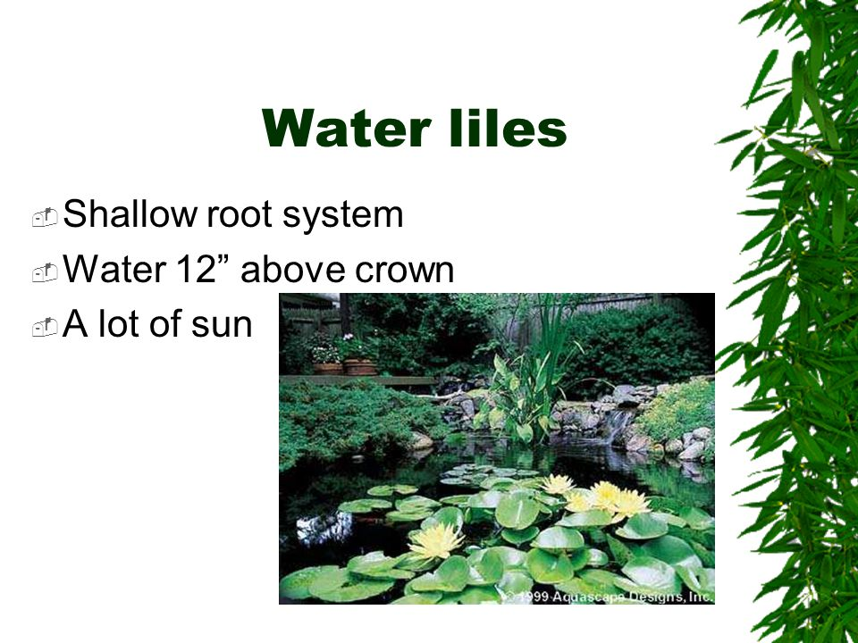 Water liles  Shallow root system  Water 12 above crown  A lot of sun