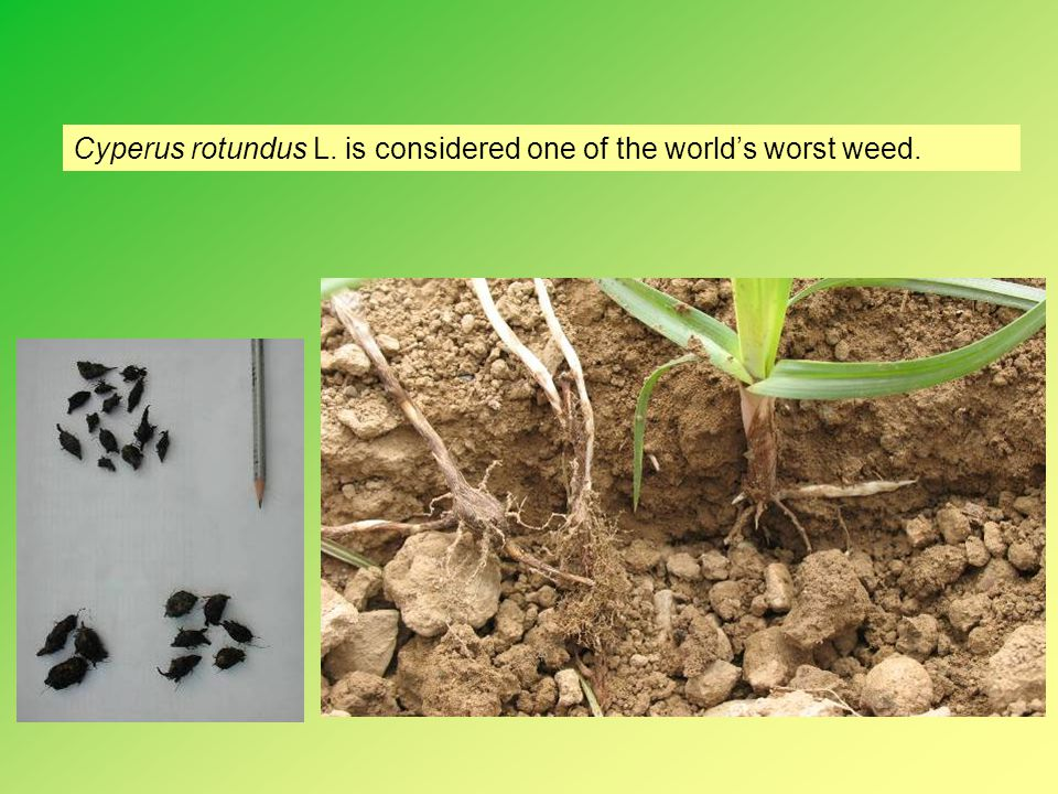 Conclusions Paper mulch is an efficient weed control method including Cyperus spp.