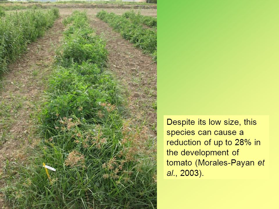 Despite its low size, this species can cause a reduction of up to 28% in the development of tomato (Morales-Payan et al., 2003).