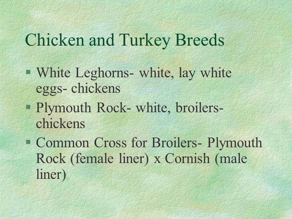 Chicken and Turkey Breeds §White Leghorns- white, lay white eggs- chickens §Plymouth Rock- white, broilers- chickens §Common Cross for Broilers- Plymo