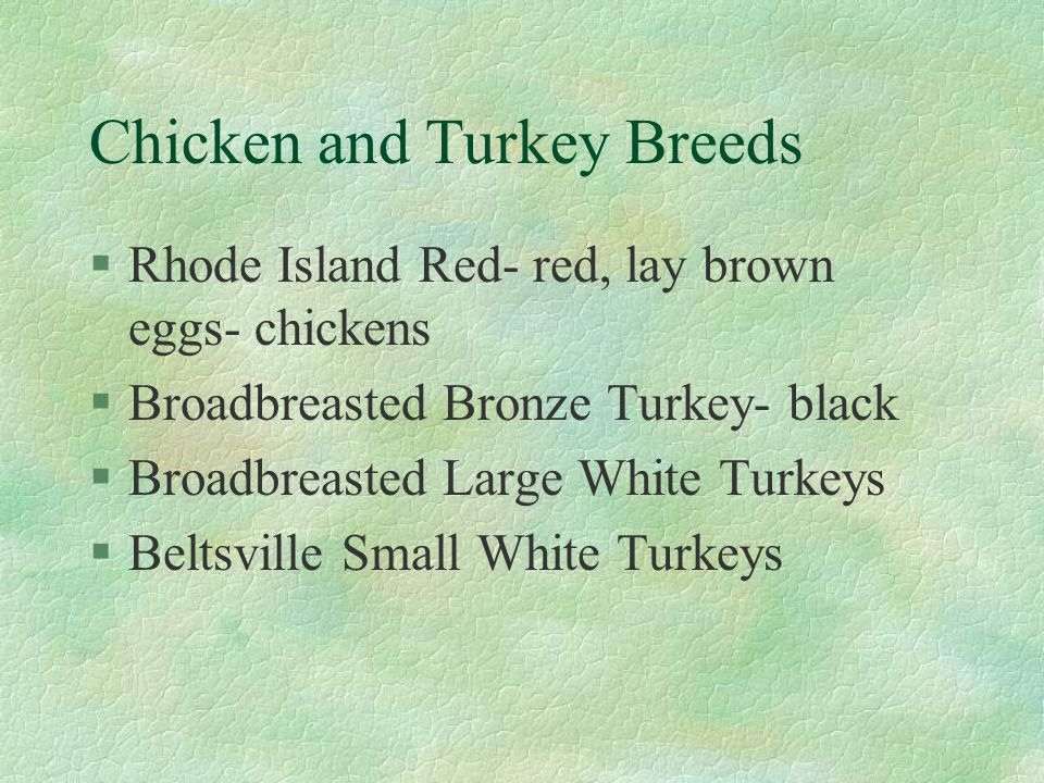 Chicken and Turkey Breeds §Rhode Island Red- red, lay brown eggs- chickens §Broadbreasted Bronze Turkey- black §Broadbreasted Large White Turkeys §Bel