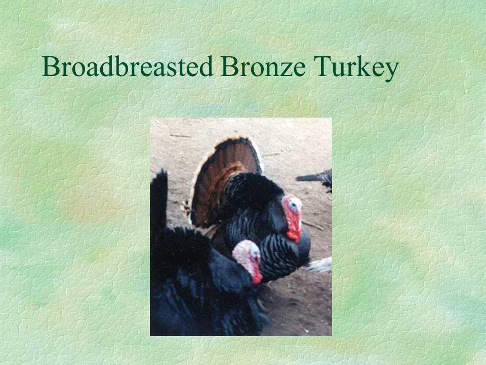 Broadbreasted Bronze Turkey