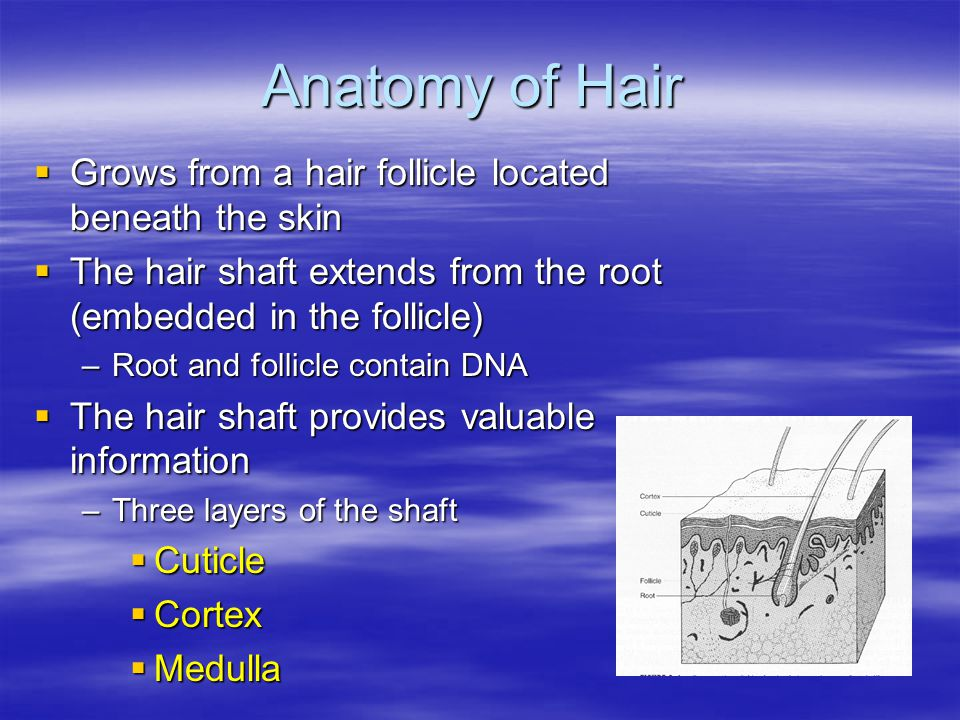 Anatomy of Hair  Grows from a hair follicle located beneath the skin  The hair shaft extends from the root (embedded in the follicle) –Root and follicle contain DNA  The hair shaft provides valuable information –Three layers of the shaft  Cuticle  Cortex  Medulla