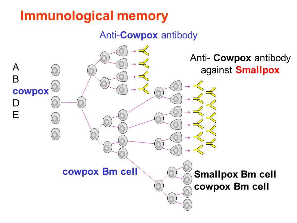 Immunological memory A B cowpox D E Anti-Cowpox antibody cowpox Bm cell Anti- Cowpox antibody against Smallpox Smallpox Bm cell cowpox Bm cell