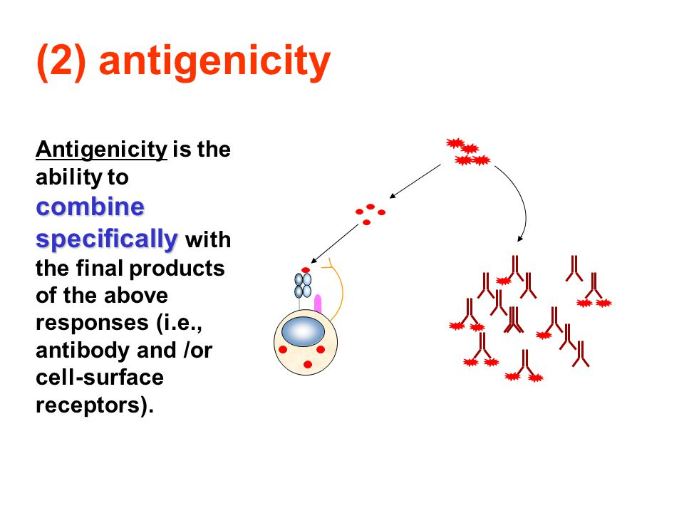 (2) antigenicity combine specifically Antigenicity is the ability to combine specifically with the final products of the above responses (i.e., antibody and /or cell-surface receptors).