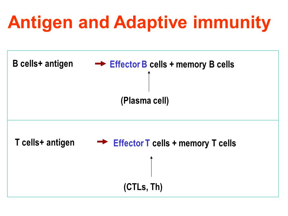 Antigen and Adaptive immunity B cells+ antigen Effector B cells + memory B cells (Plasma cell) T cells+ antigen Effector T cells + memory T cells (CTLs, Th)