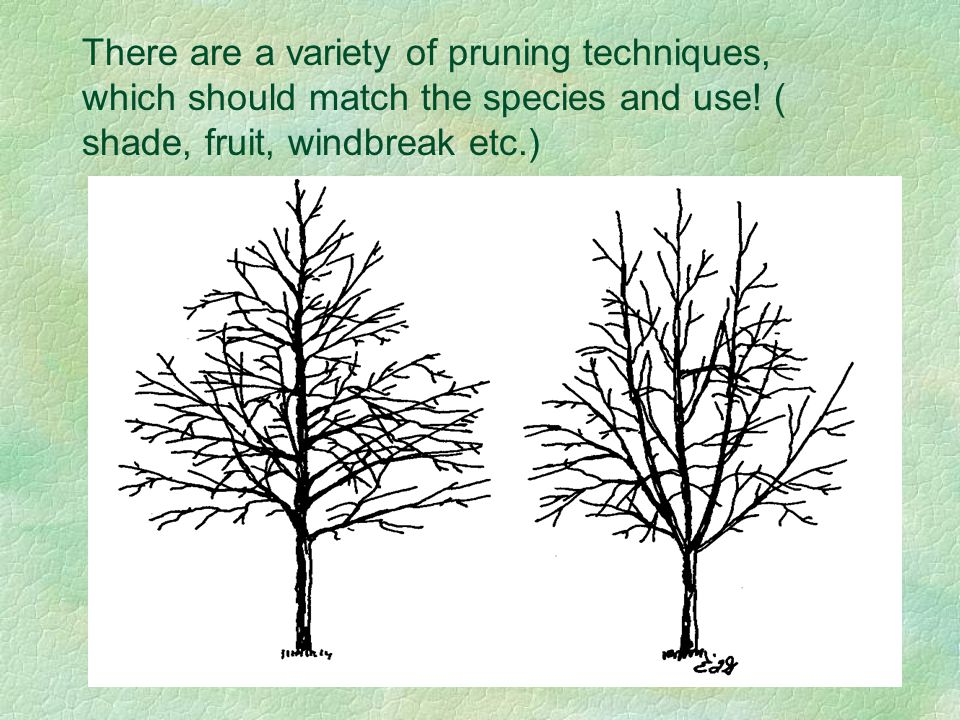 There are a variety of pruning techniques, which should match the species and use.