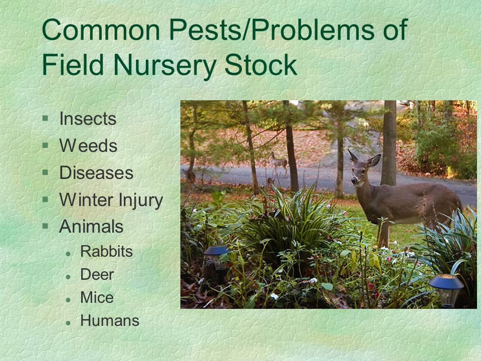 Common Pests/Problems of Field Nursery Stock §Insects §Weeds §Diseases §Winter Injury §Animals l Rabbits l Deer l Mice l Humans