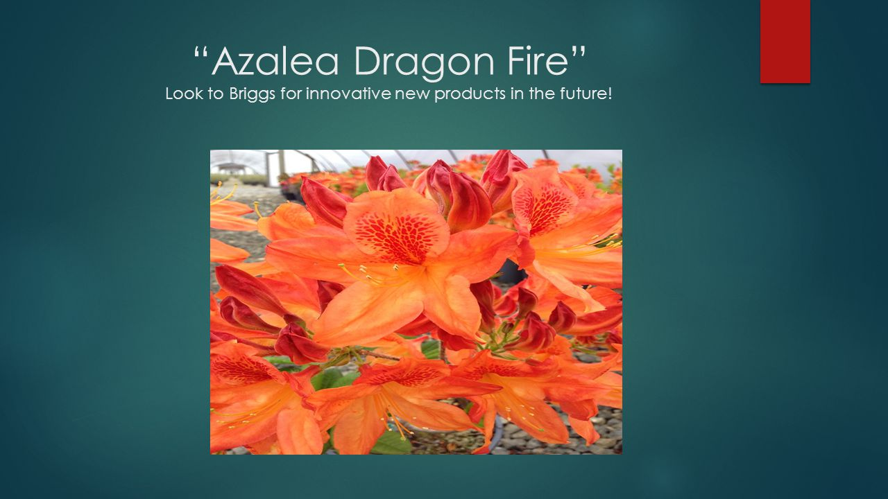 """Azalea Dragon Fire"" Look to Briggs for innovative new products in the future!"