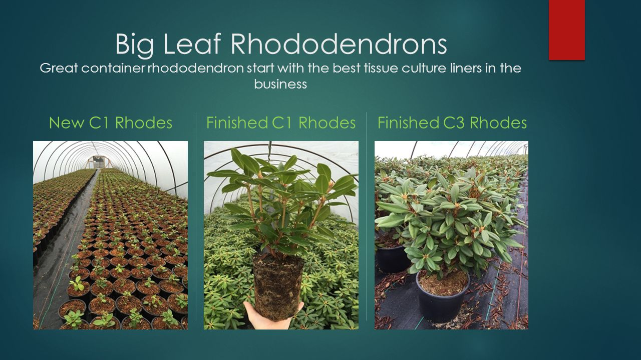 Small Leaf Rhododendron Add color to the early spring with our hardy lepidote rhododendrons.