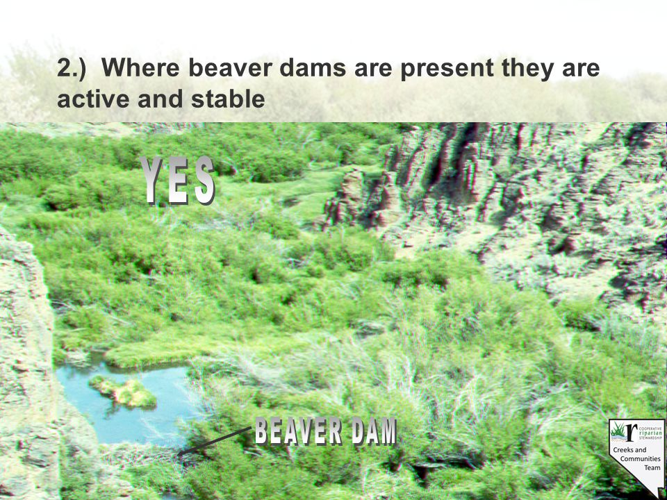 2.) Where beaver dams are present they are active and stable