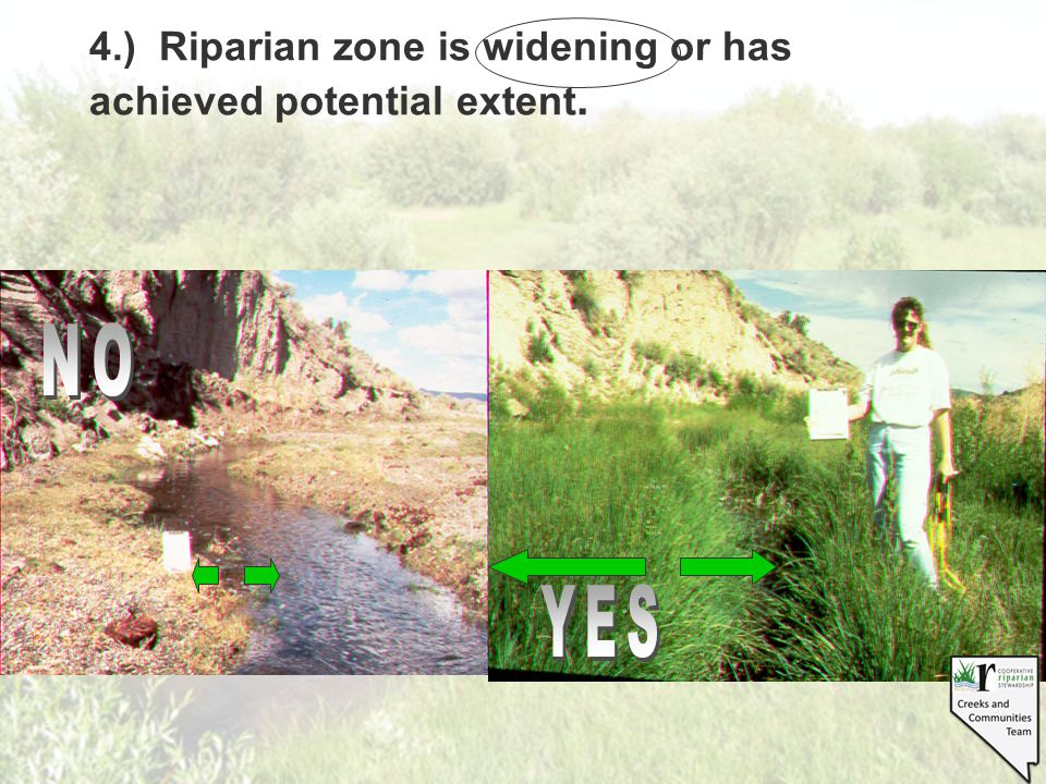 4.) Riparian zone is widening or has achieved potential extent.