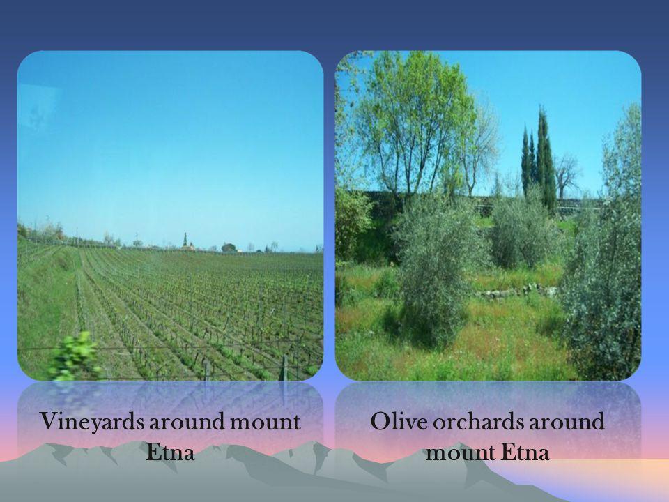 Vineyards around mount Etna Olive orchards around mount Etna