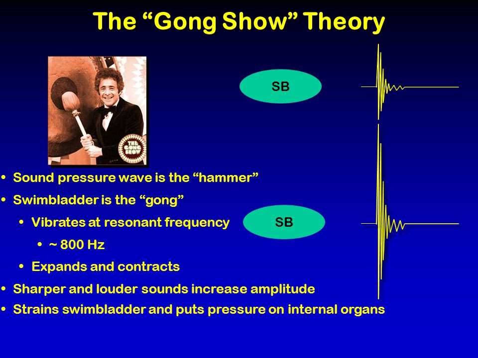 The Gong Show Theory SB Strains swimbladder and puts pressure on internal organs Sharper and louder sounds increase amplitude SB Sound pressure wave is the hammer Swimbladder is the gong Vibrates at resonant frequency ~ 800 Hz Expands and contracts
