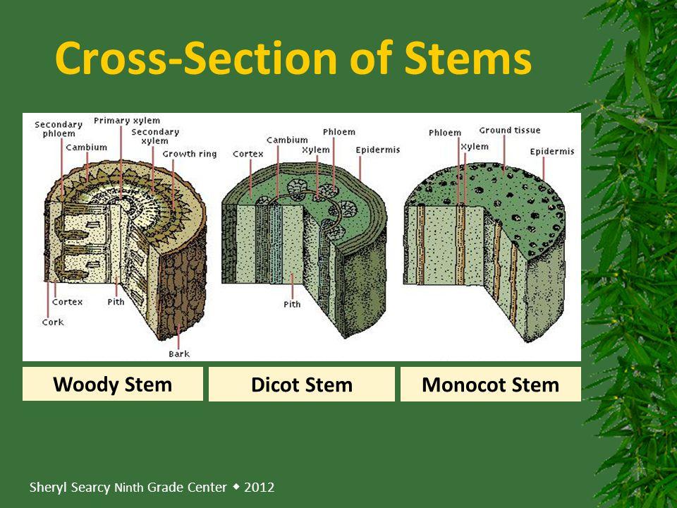 Sheryl Searcy Ninth Grade Center  2012 Cross-Section of Stems Woody Stem Dicot StemMonocot Stem