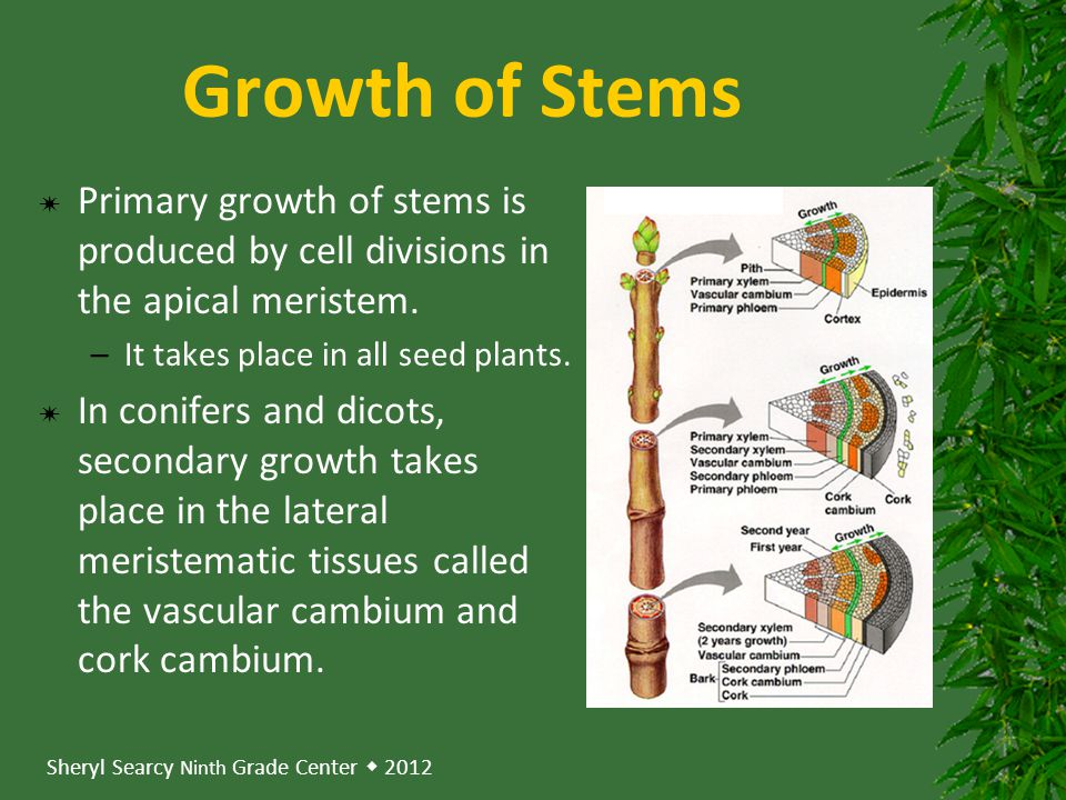 Sheryl Searcy Ninth Grade Center  2012 Growth of Stems  Primary growth of stems is produced by cell divisions in the apical meristem.