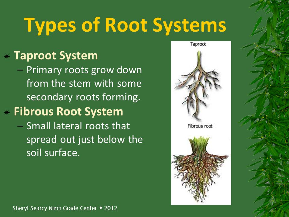 Sheryl Searcy Ninth Grade Center  2012 Types of Root Systems  Taproot System –Primary roots grow down from the stem with some secondary roots forming.