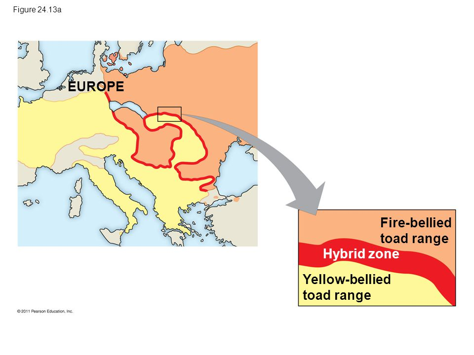 Figure 24.13a EUROPE Fire-bellied toad range Hybrid zone Yellow-bellied toad range