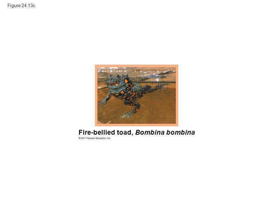 Figure 24.13c Fire-bellied toad, Bombina bombina