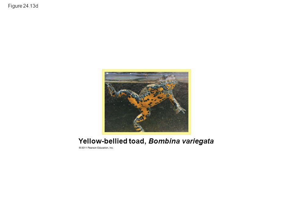 Figure 24.13d Yellow-bellied toad, Bombina variegata
