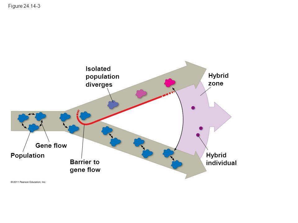 Figure 24.14-3 Gene flow Population Barrier to gene flow Isolated population diverges Hybrid zone Hybrid individual