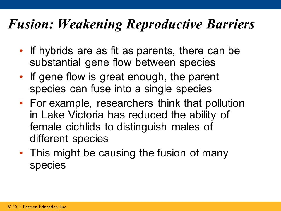 Fusion: Weakening Reproductive Barriers If hybrids are as fit as parents, there can be substantial gene flow between species If gene flow is great eno