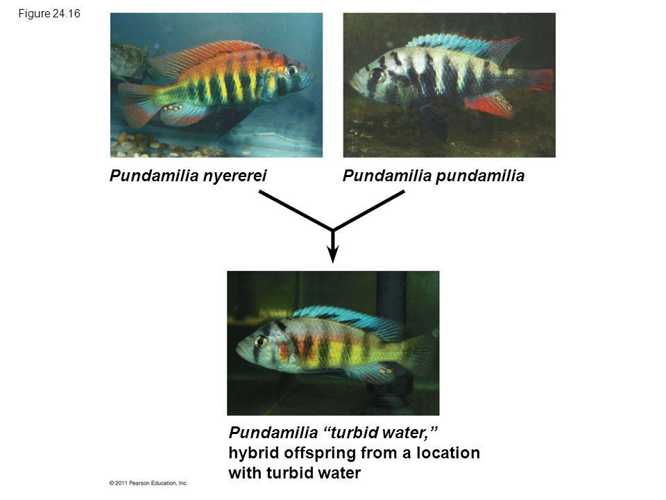 """Figure 24.16 Pundamilia nyererei Pundamilia pundamilia Pundamilia """"turbid water,"""" hybrid offspring from a location with turbid water"""