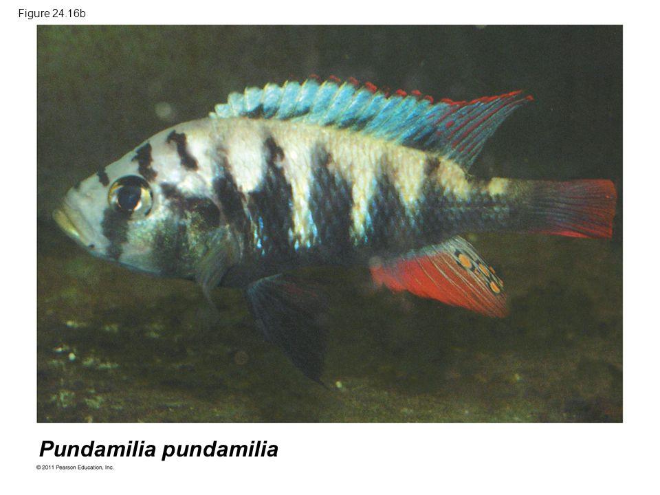 Figure 24.16b Pundamilia pundamilia