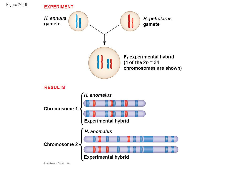 Figure 24.19 H. annuus gamete H. petiolarus gamete F 1 experimental hybrid (4 of the 2n = 34 chromosomes are shown) EXPERIMENT RESULTS Chromosome 1 H.