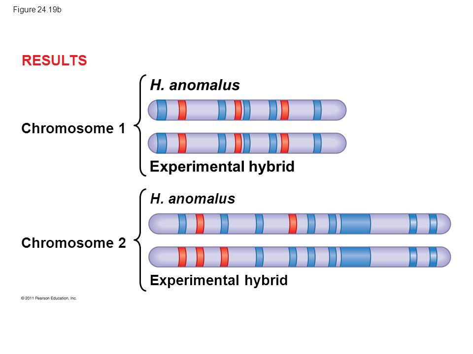 Figure 24.19b RESULTS Chromosome 1 H. anomalus Chromosome 2 H. anomalus Experimental hybrid