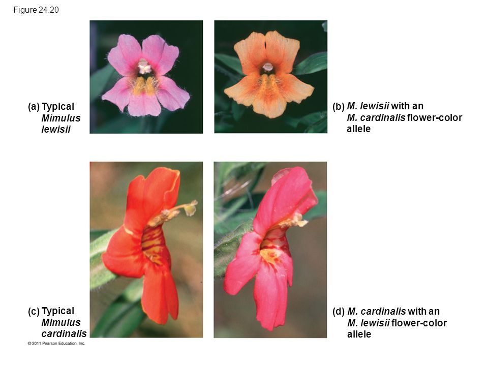 Typical Mimulus lewisii (a) Typical Mimulus cardinalis (c) M. lewisii with an M. cardinalis flower-color allele (b) M. cardinalis with an M. lewisii f