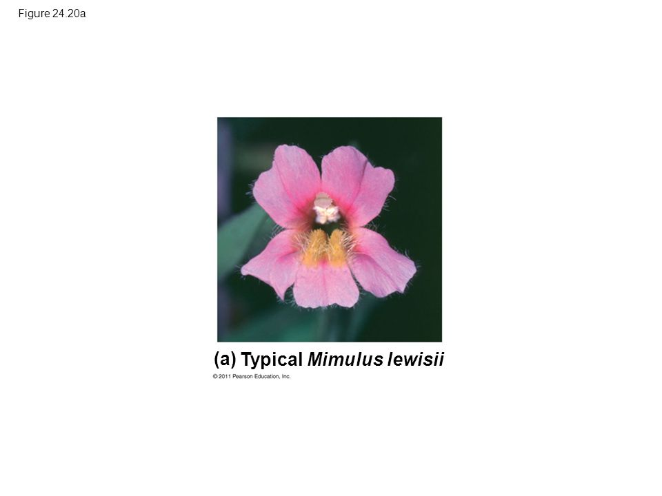 Figure 24.20a Typical Mimulus lewisii (a)