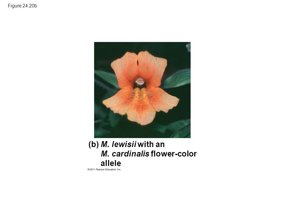 Figure 24.20b M. lewisii with an M. cardinalis flower-color allele (b)