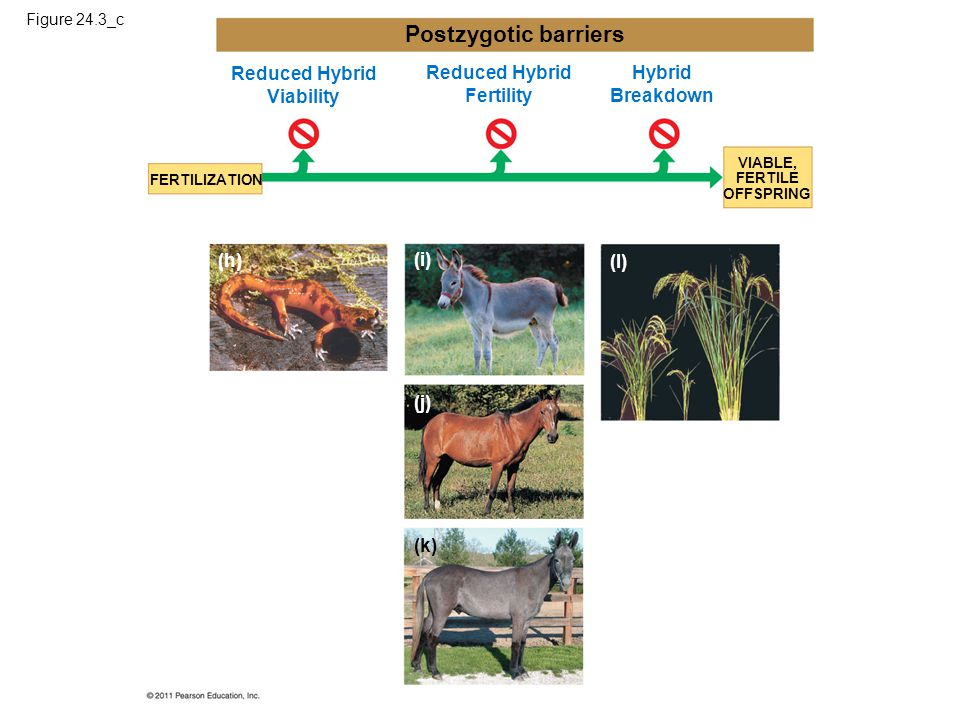 Reduced Hybrid Viability Reduced Hybrid Fertility Hybrid Breakdown FERTILIZATION VIABLE, FERTILE OFFSPRING Postzygotic barriers (k) (h) (i) (j) (l) Fi