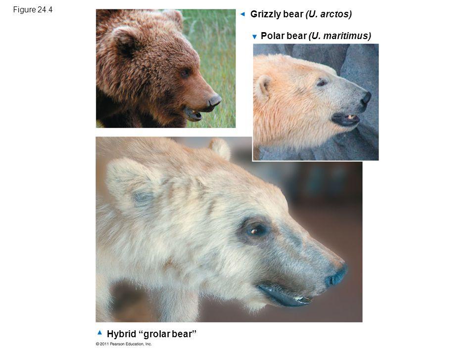 """Figure 24.4 Grizzly bear (U. arctos) Polar bear (U. maritimus) Hybrid """"grolar bear"""""""
