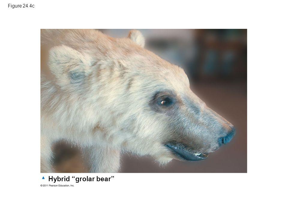 "Figure 24.4c Hybrid ""grolar bear"""