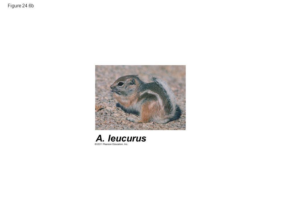 Figure 24.6b A. leucurus