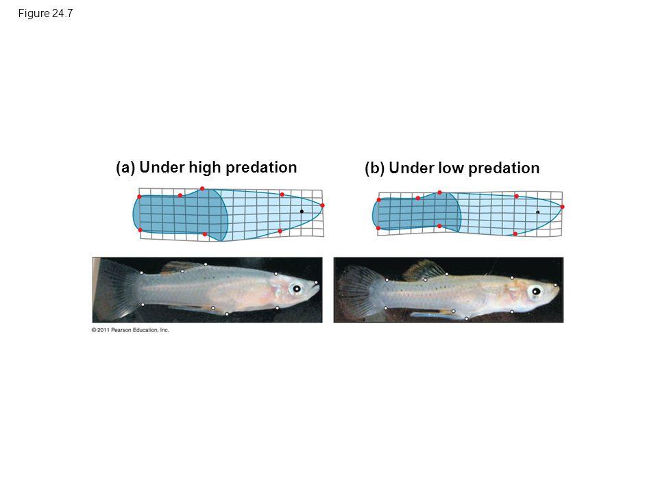 Figure 24.7 (a) Under high predation (b) Under low predation