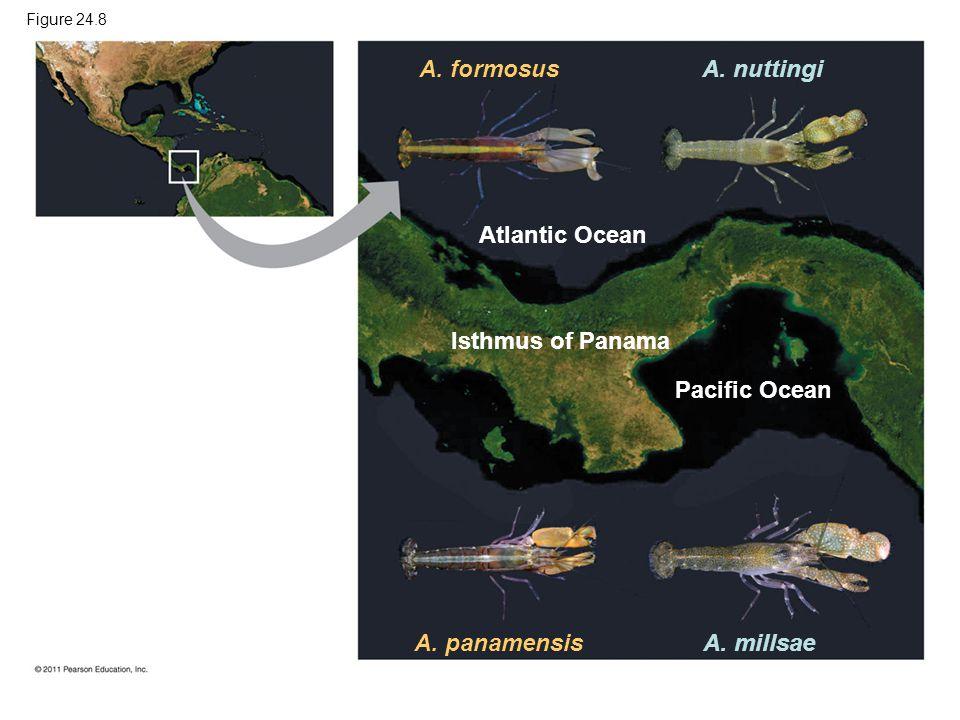 Figure 24.8 A. formosus Atlantic Ocean A. nuttingi Isthmus of Panama Pacific Ocean A. panamensisA. millsae