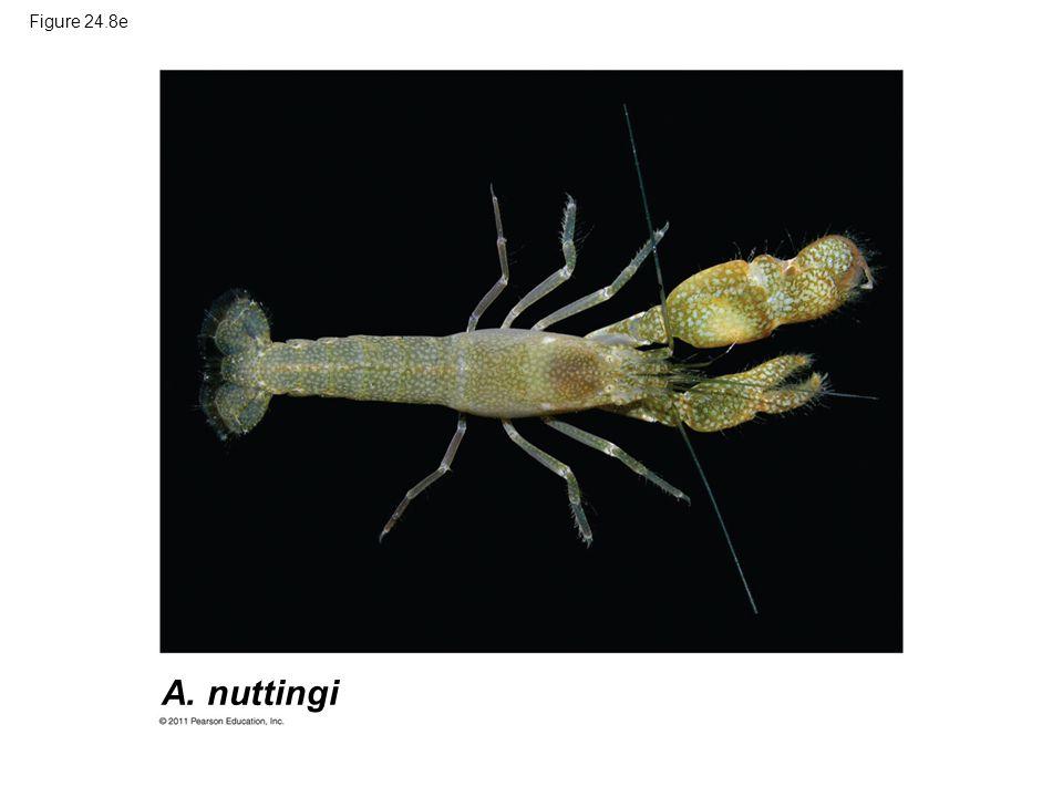 Figure 24.8e A. nuttingi