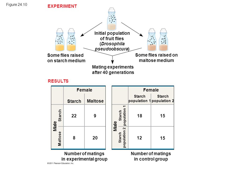 Figure 24.10 EXPERIMENT RESULTS Initial population of fruit flies (Drosophila pseudoobscura) Some flies raised on starch medium Mating experiments aft